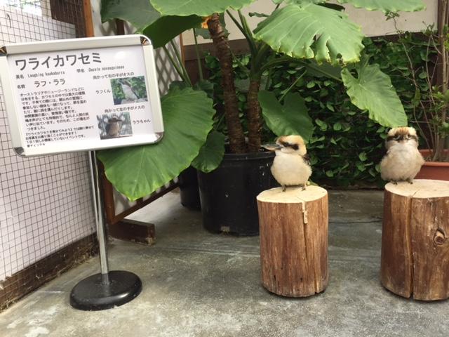 ワライカワセミ(掛川花鳥園)
