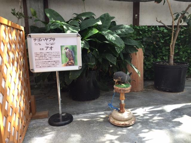 掛川花鳥園のチゴハヤブサ