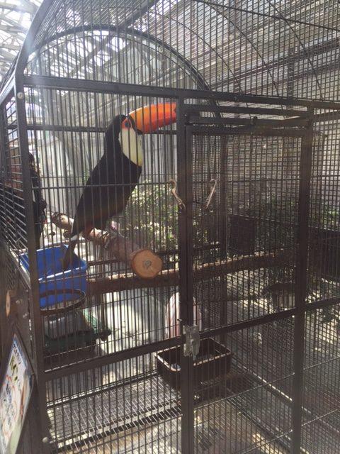掛川花鳥園のオオハシ(籠の中)
