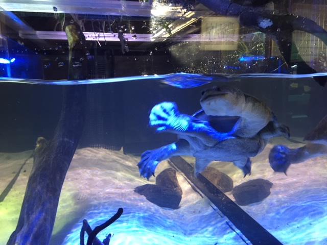 竹島水族館のナガクビカメ