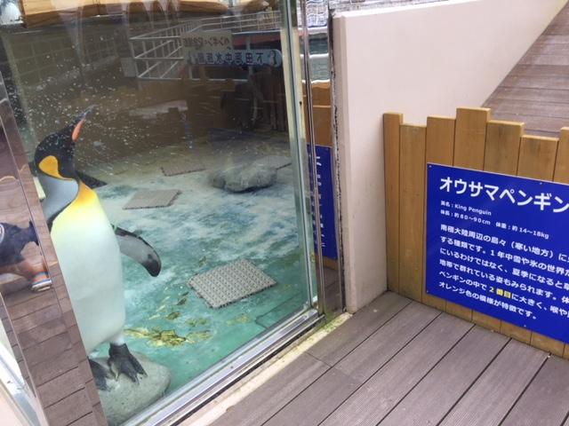 下田海中水族館のオウサマペンギン