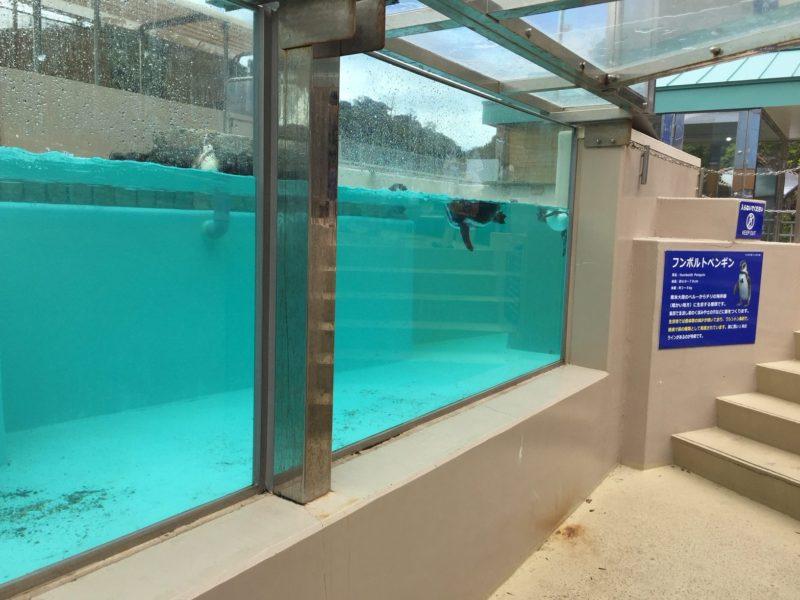 下田海中水族館のフンボルトペンギン