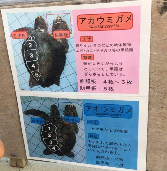下田海中水族館のアカウミガメとアオウミガメの違いを解説した看板