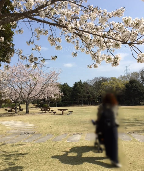 遠州灘海浜公園の桜(お花見)