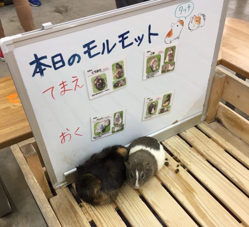 日本平動物園のふれあい館にいるモルモット