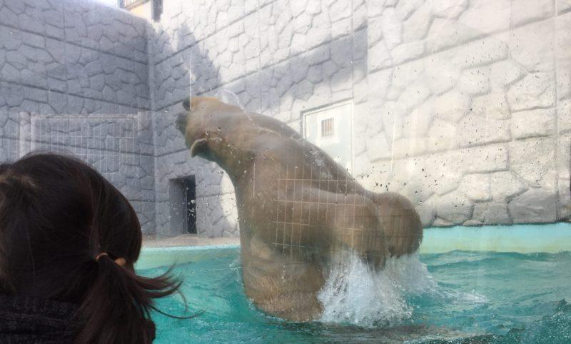 日本平動物園のシロクマ