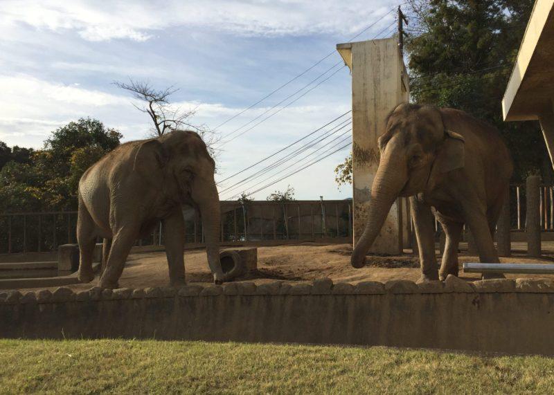 日本平動物園のゾウ