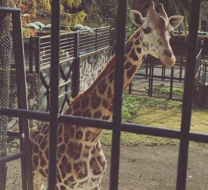 日本平動物園のキリン