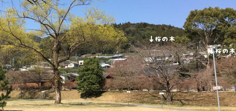 くのわき親水公園キャンプ場の桜の木