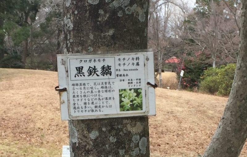 飯田公園に生えている黒金糯の木